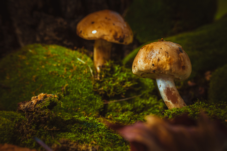 dark mushrooms on green moss with a wet hat Stock Photo