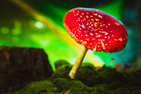 muscaria: beautiful red with white spots mushroom on moss