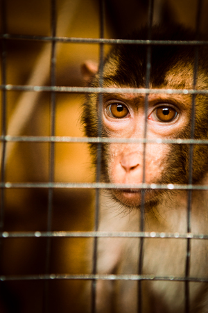 cage gorilla: sad fluffy monkey in a cage sits Stock Photo