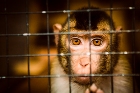 sad fluffy monkey in a cage sits Stock Photo