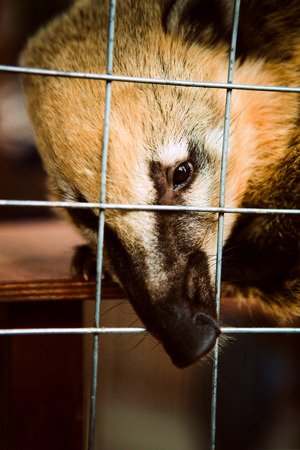 Coati animal in the zoo cage.