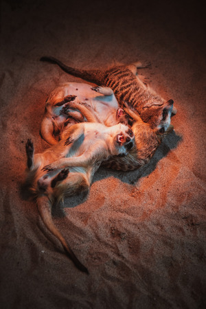 burrowing: Many meerkats are played and lie on the sand