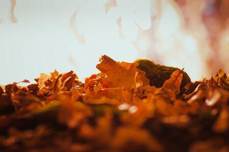 Orange and yellow autumn leaves acorn close up
