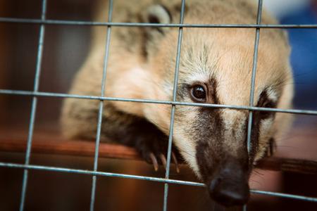 동물원 케이지에 Coati 동물입니다.