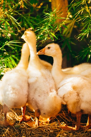 Five young goose together sit on the grass Stock Photo