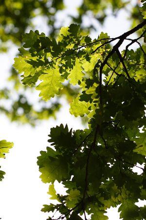 Oak-tree branch Stock Photo