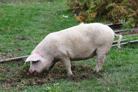 Porc dans le domaine Banque d'images