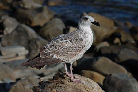 snag: Seagull on the snag