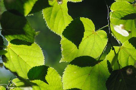 Vert de feuilles de tilleul dans le parc.