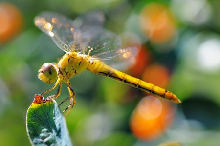 Yellow dragonfly on the branch. Narrow depth of field.