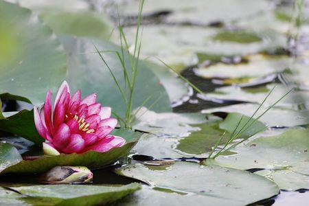 Fleur de Lotus flottant dans le lac. Profondeur de champ �troite.