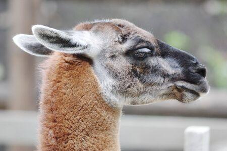 guanicoe: Lama guanicoe head. Narrow depth of field.