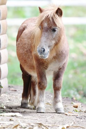 Brown pony looking to the camera. Stock Photo