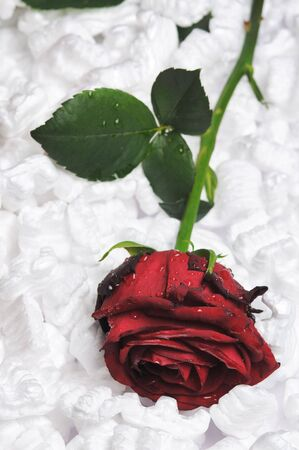 Single red rose packing with foam plastic crumb. Stock Photo - 4622906