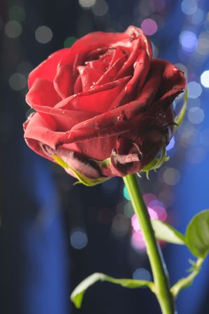 Single red rose on the blue background. Narrow depth of field. Stock Photo