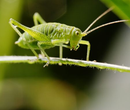 Small grasshopper sitting on the green leaf. Narrow depth of field. Stock Photo