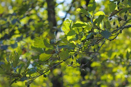 alder: Branch of black alder in the forest.
