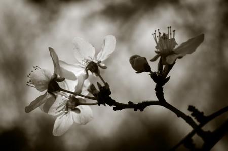 Cherry tree blossom. Narrow depth of field. Sepia tint. photo