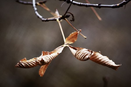 Horse-chestnut dead leaves on the branch. Narrow depth of field. Sepia tint. Stock Photo - 7346901