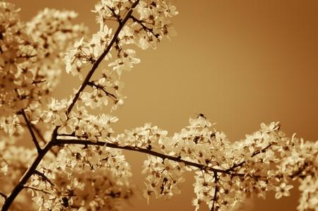 Cherry tree blossom. Narrow depth of field. Sepia tint.
