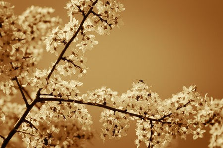 Cherry tree blossom. Narrow depth of field. Sepia tint.