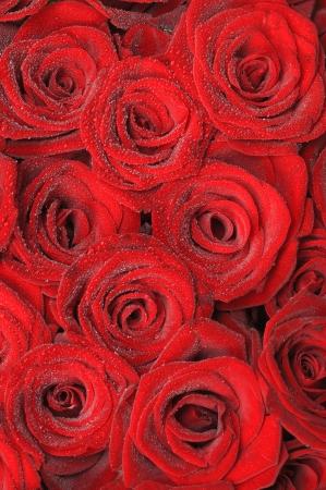 小さな露の滴で美しい赤いバラ。