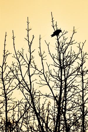 Black raven on the black winter trees. photo