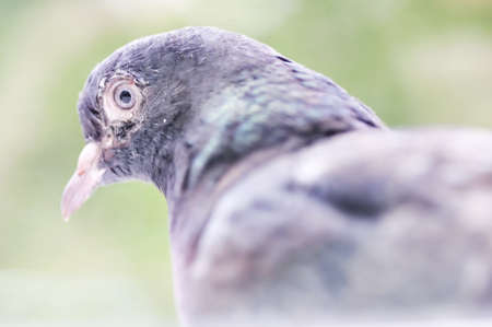 Dirty pigeon sitting on the branch. Close-up. Narrow depth of field. Stock Photo - 9637009