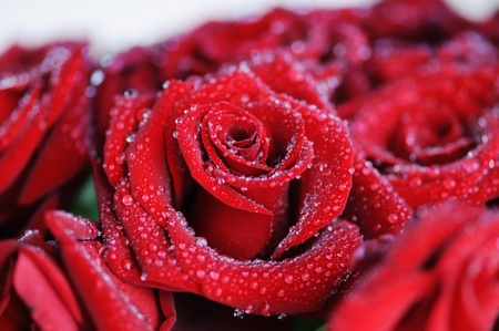 Beautiful red roses with small dew drops.