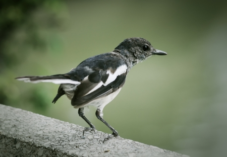 Oriental Magpie-Robin in the Lumpini park  Bangkok  Thailand  Stock Photo - 14951874