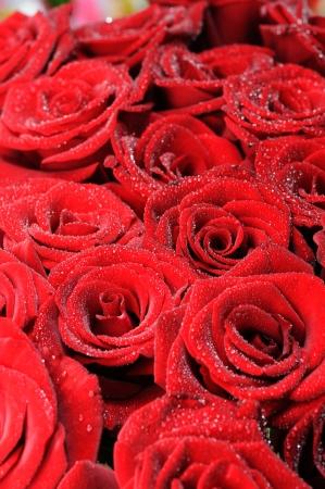小さな露の滴で美しい赤いバラ