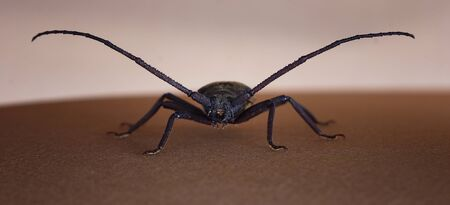 chitin: Beetle