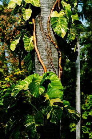 liana: Tropical liana on palm trunk