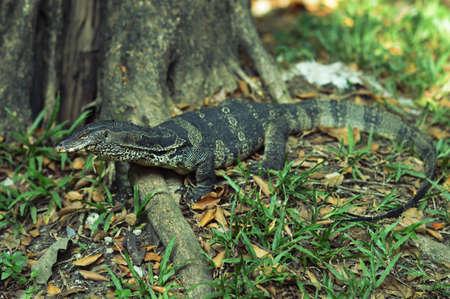 salvator: Varanus Salvator - Water Monitor  It sits on tree roots