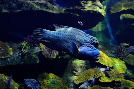 cheilinus: Humphead Maori Wrasse   Cheilinus Undulatus   swim in ocean water  Stock Photo