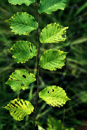 alder tree: Closeup of alder tree branch.