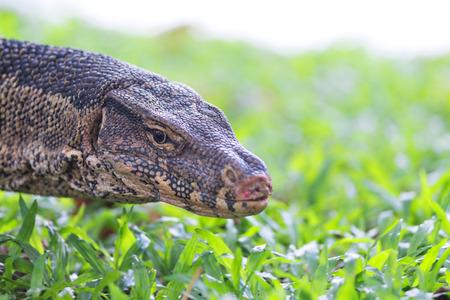 salvator: Water Monitro-  Varanus Salvator in Lumphini park, Bangkok. Stock Photo