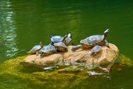 Exotic turtle species Red-eared Slider (Trachemys scripta elegans) sunbathing on rock in reservoir or pond.