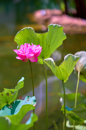 Pink lotus flower on long stem among leaves with dark green water of garden pond in background. Aquatic plant.
