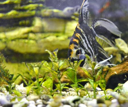 freshwater aquarium plants: Angelfish in the aquarium with greenery and beautiful stones Stock Photo