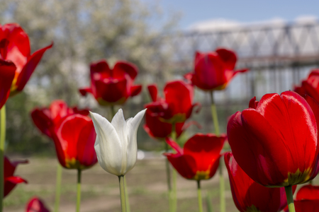 reviews: Beautiful view of red tulips in the garden. One white tulip among the red tulips. concept - individuality and loneliness.