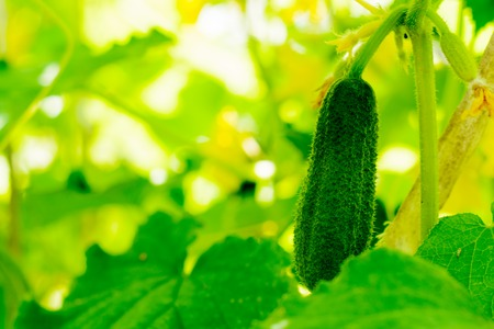 Fresh green cucumbers on the branch weigh in the garden of the village garden. Subsistence farming without chemicals Stock Photo