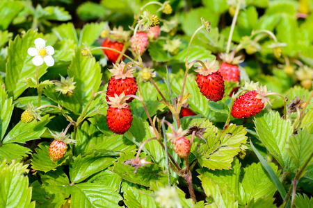 Young fresh red strawberries weigh on the branches. toned
