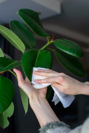 The concept of plant care, women's hands rubbed the large leaves of ficus from dust, real life.