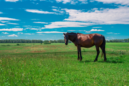 Young pregnant brown horse walks on a green meadow and chews fresh grass.