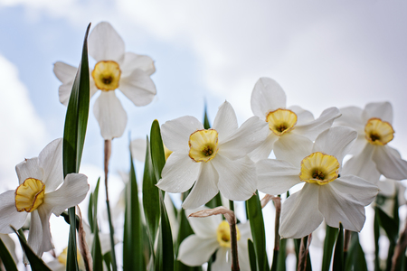 Close-up of Narcissus flowers from the lower angle. Banco de Imagens