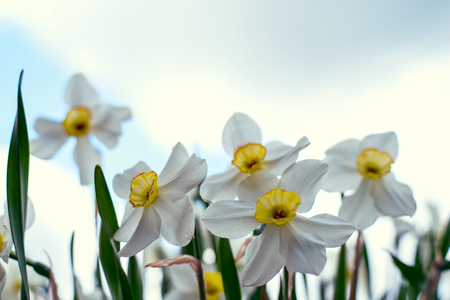Narcissus flowers close - up with green grass and cloudy sky. Banco de Imagens