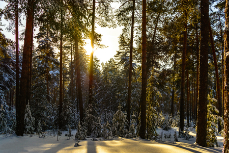 Winter minimalistic landscape of coniferous forest on a Sunny day. Stock Photo