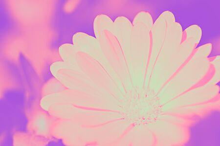 neon flower backround. gerbera flower pink and violet toned