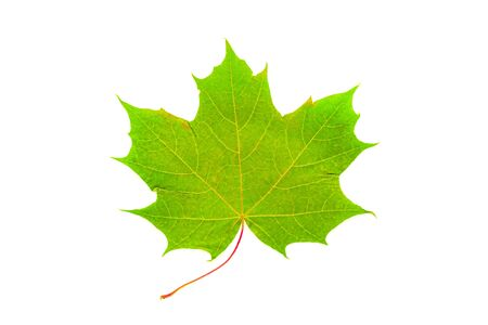 isolated image of green maple leaf on white.